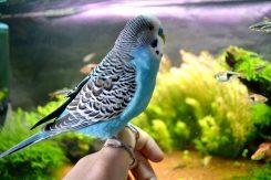 Papagaj Cookie